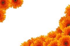 Orange daisy flowers Stock Images