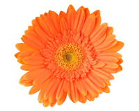 Orange daisy-gerbera Royalty Free Stock Image