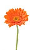 Orange Daisy-gerbera Royalty Free Stock Images
