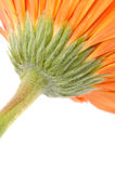 Orange daisy-gerbera Stock Photos