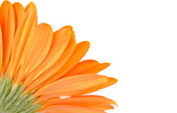 Orange daisy-gerbera Stock Image