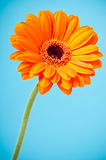 Orange Daisy Gerbera Flower on blue Royalty Free Stock Photos