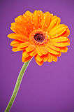 Orange Daisy Gerbera Flower on purple Royalty Free Stock Images