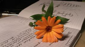 Orange daisy on notebook. Orange daisy flower lies on check pattern notebook with writings and drawings Stock Image