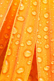 Orange daisy petails Stock Photos