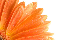 Orange daisy petails Stock Photo