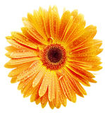Orange daisy petails Royalty Free Stock Image