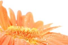 Orange daisy with rain drops Royalty Free Stock Photos