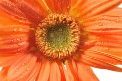 Orange daisy with rain drops Royalty Free Stock Image