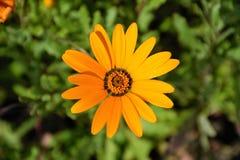 Orange daisy at sunny day Stock Photo