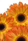 Orange Daisy Trio. A trio of cheerful orange and yellow gerbera daisies Stock Photos