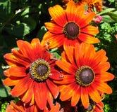 orange daisylike flowers Royalty Free Stock Image