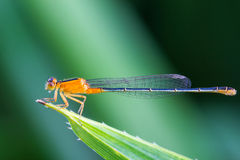 Orange damsel Flies on green leaf Royalty Free Stock Photography