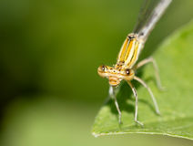Orange damselfly on a leaf Stock Photos