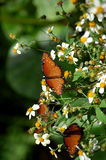 Orange Danaus Gilippus Queen Butterflies Stock Image