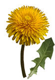 Orange Dandelion flower on a white isolated background with clipping path. Closeup. no shadows. For design. Side view. Nature royalty free stock image