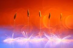 Orange dandelion seeds Stock Images