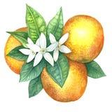 Orange dans les aquarelles Image libre de droits