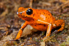Orange dart frog. The orange dart frog, Oophaga pumilio, is a color form of the strawberry dart frog. It lives locally in Panama,Central America Stock Photography
