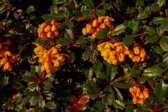 Orange Darwin-` s Berberitzenbeere blüht in einer Hecke lizenzfreie stockbilder