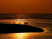 Orange Day. Dogs walks on a marooned island at a sunset in India Stock Photography