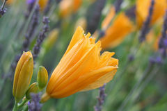 Orange Day Lilies in Lavender Field of Lavender Stock Photo