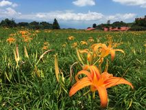 Orange day lilies stock images