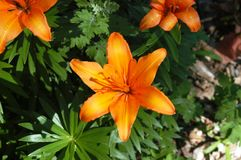 Orange Day Lily royalty free stock photo