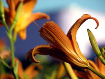 Orange day lily Stock Photography