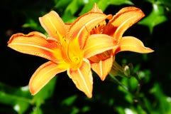 Orange Day Lily In Backyard Garden Stock Photo