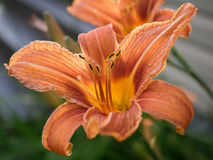 Orange day lily. Day lily orange that blooms in summer, it is all delicate Stock Image