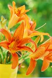 Orange day-lily bouquet Stock Image