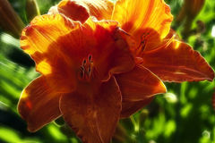 Orange Day Lily Stock Photos