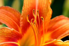 Orange Day Lily Flower. Close-up in afternoon light Stock Images