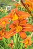 Orange day lily flower in garden Stock Images