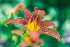Orange day-lily flower Royalty Free Stock Image