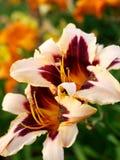 Orange day-lily flowers Stock Photos