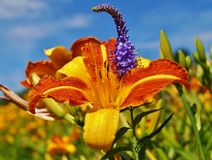 Orange day lily flowers in botanical garden - Dayl Royalty Free Stock Images