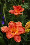 Orange day-Lily. . Royalty Free Stock Image