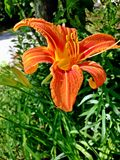 Orange Day Lily. Single orange day lily flower popping out of the tall grass alongside the road Stock Images