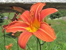 Orange Daylilies growing along a wooden fence Royalty Free Stock Image
