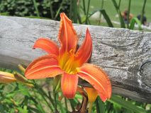Orange Daylilies growing along a wooden fence Royalty Free Stock Images