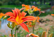 Orange daylilies Stock Images