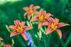 Orange Daylilies Royalty Free Stock Photography