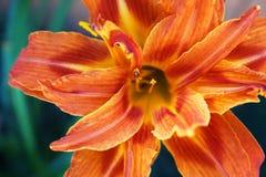 Orange daylilly flower closeup Stock Photo