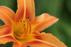 Orange daylily Stock Photography