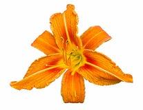 Orange daylily Royalty Free Stock Image
