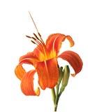 Orange daylily. Isolated on white Stock Photos