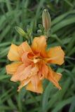Orange daylily Arkivbilder