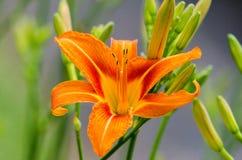 Orange Daylily stockfotografie